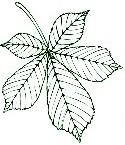 Kastanienblatt Stempel