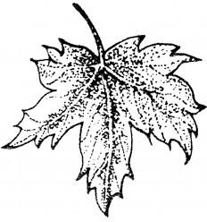 Ahornblatt Tampon